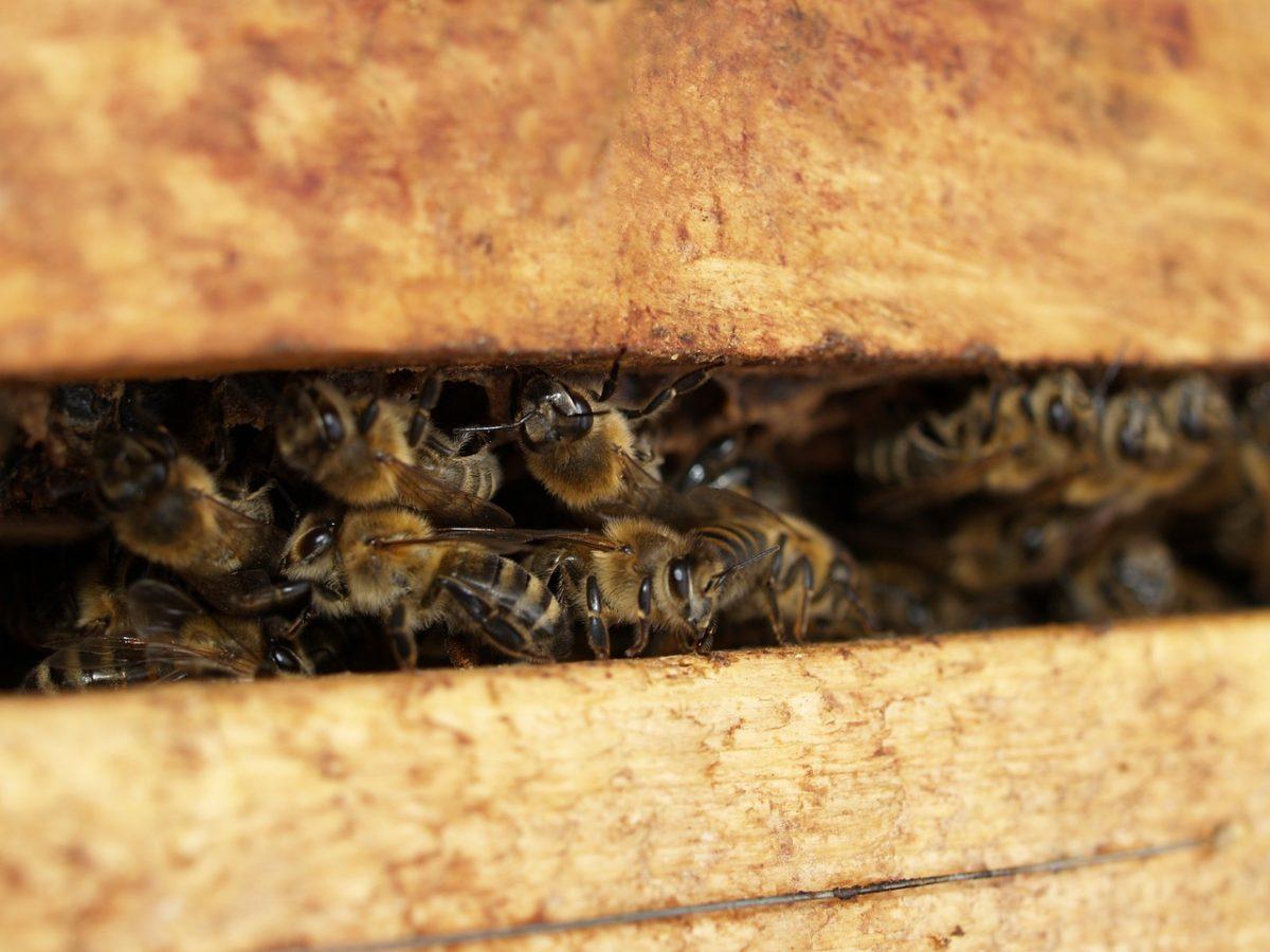 Fotografía de abejas en la piquera