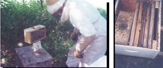 Pesada del paquete para medir la cantidad de abejas Paquete instalado