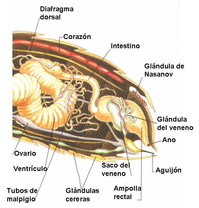 Anatomía de la abeja