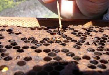 Enfermedades de la Cría de abeja