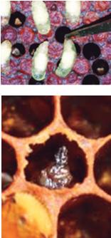 DeMielesyAbejas -Cría ensacada o sacciforme costra