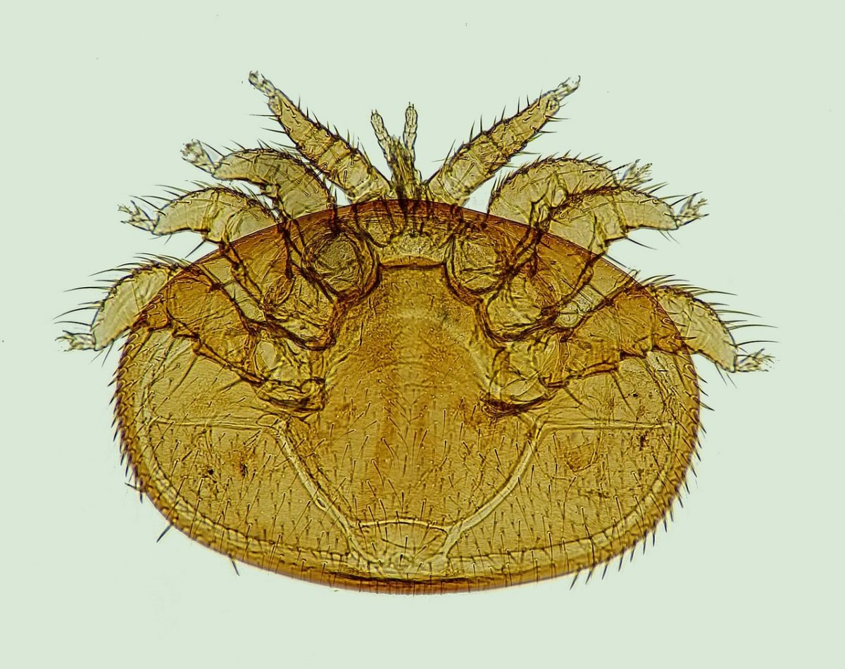 diagnosticar varroa