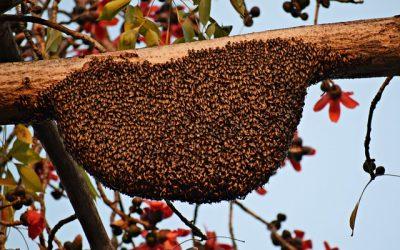 Los mejores consejos para atrapar un enjambre de abejas silvestre para que no te piquen mucho.